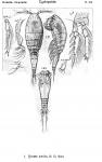 Oncaea similis from Sars, G.O. 1918