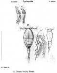 Oncaea minuta from Sars, G.O. 1918