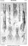 Monstrilla leucopsis from Sars, G.O. 1921