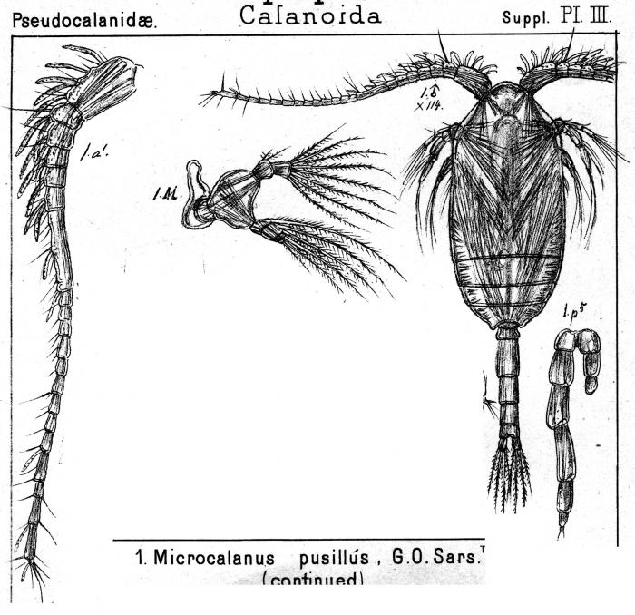 Microcalanus pusillus from Sars, G.O. 1903