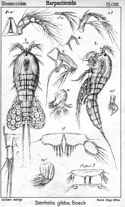 Stenhelia gibba from Sars, G.O. 1906