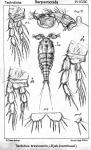 Tachidius brevicornis from Sars, G.O. 1909