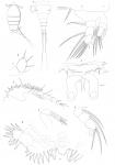 Bomolochus muraenae from Brian, A 1906