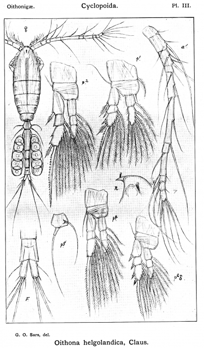 Oithona helgolandica from Sars, G.O. 1913