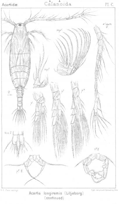 Acartia longiremis from Sars, G.O. 1903