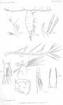 Acartia verrucosa from Thompson 1888
