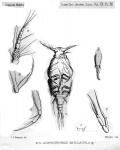 Acontiophorus angulatus from Thompson 1888