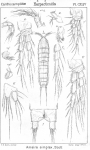Ameira simplex from Sars, G.O. 1907