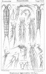 Amphiascus lagenirostris from Sars, G.O. 1911