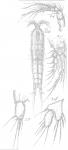 Amphiascus lamellifer from Sars, G.O. 1911