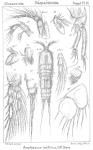 Amphiascus latifolius from Sars, G.O. 1911