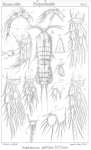 Amphiascus pallidus from Sars, G.O. 1906
