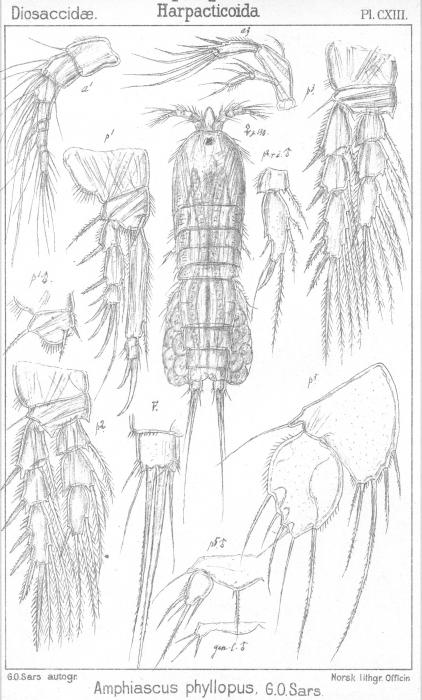 Amphiascus phyllopus from Sars, G.O. 1906