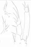 Amphiascus phyllopus from Brian, A 1921