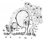 Duplominona septentrionalis