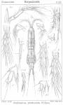 Amphiascus productus from Sars, G.O. 1906