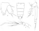 Amphiascus speciosus from Brian, A 1921