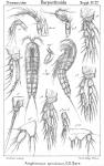 Amphiascus spinulosus from Sars, G.O. 1911