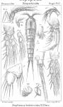 Amphiascus thalestroides from Sars, G.O. 1911
