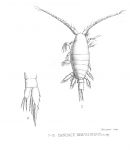 Candacia brevicornis from Thompson 1888
