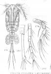 Cyclops angustus from Sars, G.O. 1909