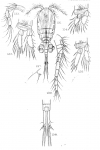 Cyclops attenuatus from Sars, G.O. 1909