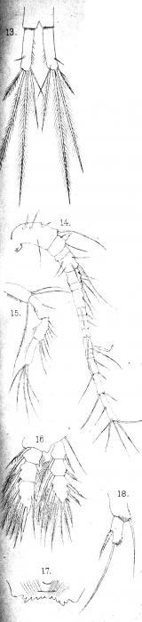 Cyclops bodamicus from Vosseler 1886