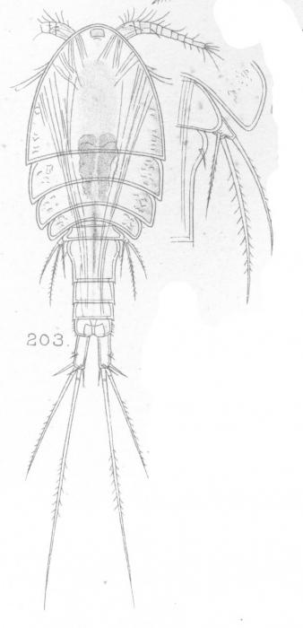 Cyclops compactus from Sars, G.O. 1909