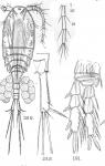 Cyclops euacanthus from Sars, G.O. 1909