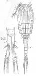 Cyclops exiguus from Sars, G.O. 1909