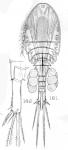 Cyclops rarispinus from Sars, G.O. 1909