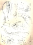 Diaptomus bouvieri from Daday 1910