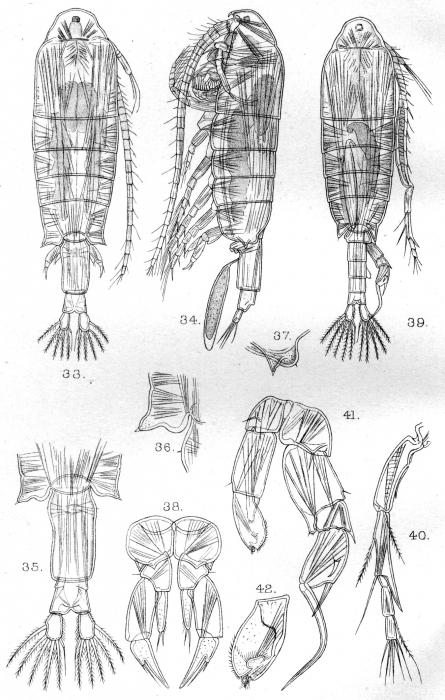 Diaptomus cunningtoni from Sars, G.O. 1909
