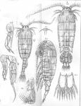 Diaptomus incrassatus from Sars, G.O. 1903