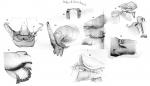 Dolops longicauda from Thiele 1904