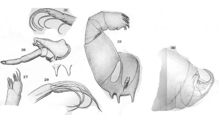 Dolops ranarum from Thiele 1904