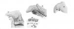 Dolops striata from Thiele 1904
