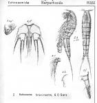 Ectinosoma brevirostre from Sars, G.O. 1904