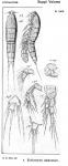 Ectinosoma distinctum from Sars, G.O. 1920
