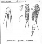 Ectinosoma gothiceps from Sars, G.O. 1904