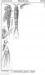 Ectinosoma gracile from Sars, G.O. 1904