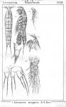 Ectinosoma herdmani from Sars, G.O. 1904