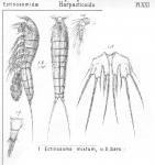 Ectinosoma mixtum from Sars, G.O. 1904