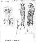 Ectinosoma propinguum from Sars, G.O. 1904