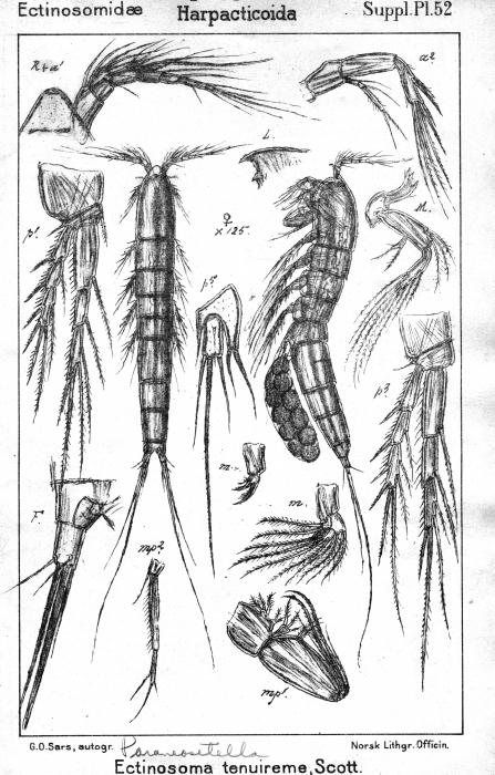 Pararenosetella tenuireme from Sars, G.O. 1911