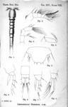Leptopsyllus herdmani from Thompson I.C. & Scott A. 1900