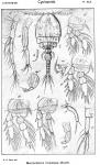 Macrochiron hirsutipes from Sars, G.O. 1917