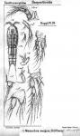 Mesochra exigua from Sars, G.O. 1911