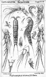 Phyllocamptus minutus from Sars, G.O. 1911