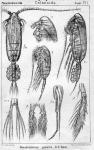 Pseudocalanus gracilis from Sars, G.O. 1903
